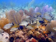 photo sea fan reef.jpg